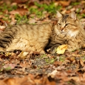 Leo in the leaves